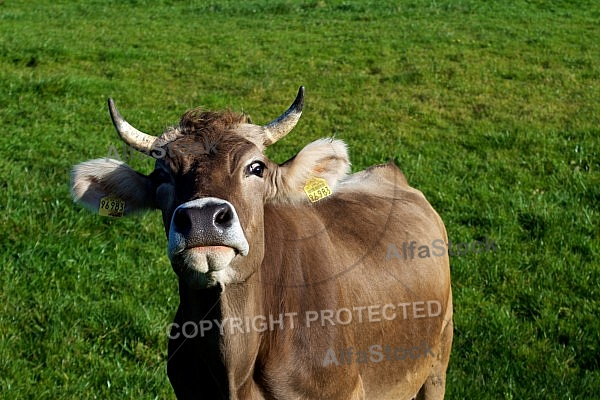 Cattle, Cow
