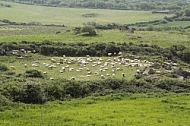 Flock of sheep in Sardenia, Italy