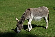 Grey Donkey in the Light