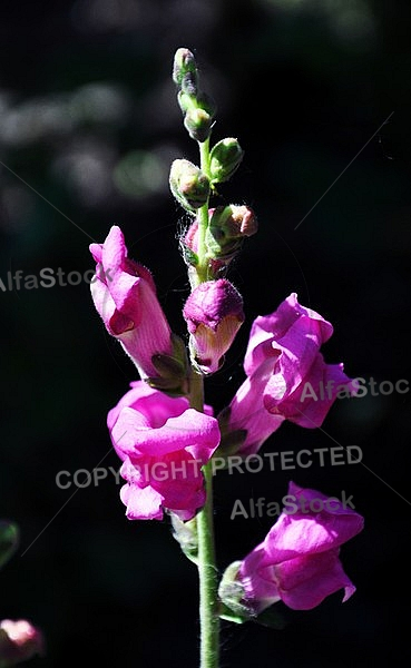 Purple Snapdragon Flower