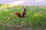 Red squirrel, Sciurus vulgaris